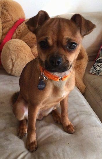 Chug Chihuahua And A Pug Chug Dog Chug Puppies Chihuahua Pug Mix