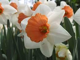 Resultado de imagem para junquilhos flores