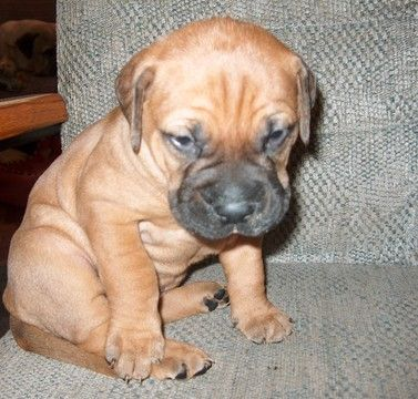 Litter Of 5 Bullmastiff Puppies For Sale In Old Town Fl Adn