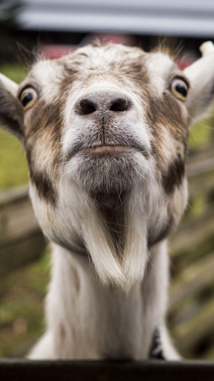 Full Hd P Goat Wallpapers Hd Desktop Backgrounds X Funny Goat Pictures Goats Funny Goat Picture