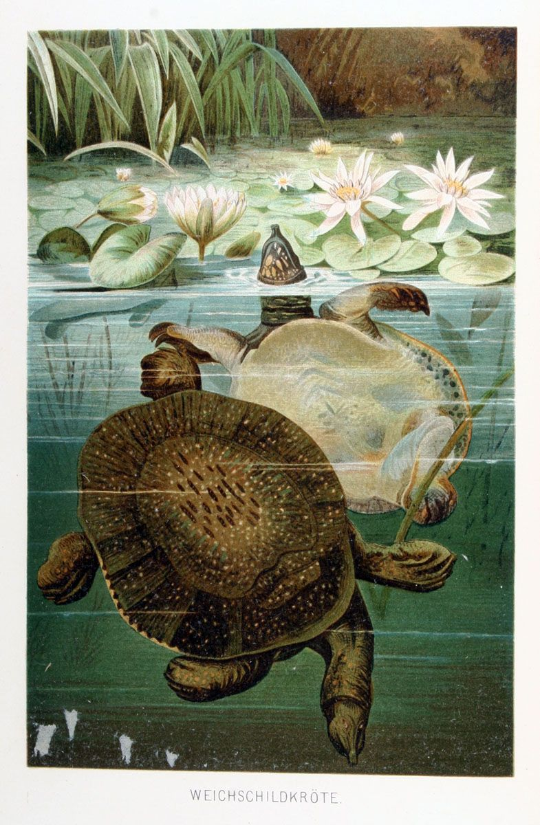 "Softshell Turtle from Brehm's ""Life of Animals. Reptiles and amphibians"", 1892"