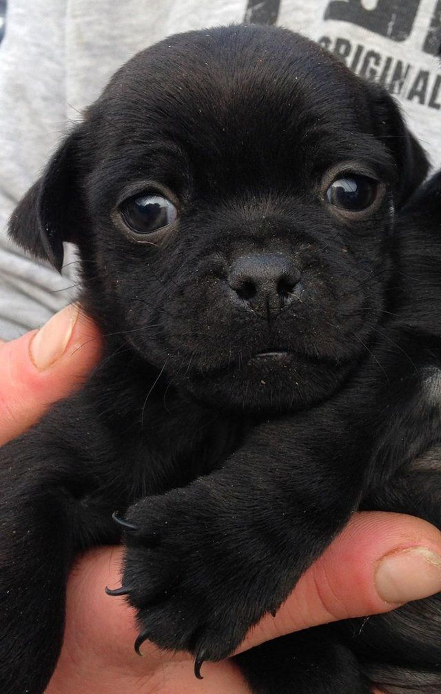 DOUBLE JUG PUPS: Black 3/4 Pug x 1/4 Jack Russell for sale ...