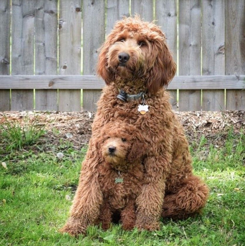 70 Brown And Fluffy Dog Names Labradoodle Puppy Australian Labradoodle Puppies Cute Dogs