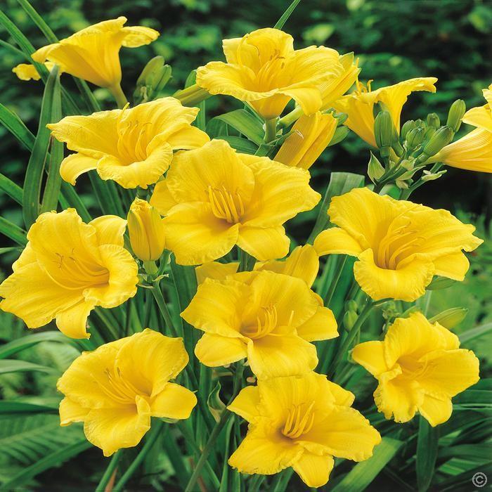 H m rocalle lys de jour daily bread 1 plante achetez en ligne sur internet commander vite for Commander fleurs sur internet