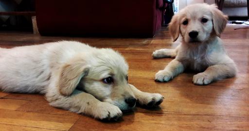 Golden Retriever Puppy For Sale In Pueblo Co Adn 28028 On