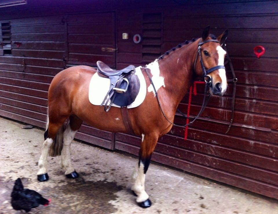 Sold to Scotland**Bombproof, 15hh Skewbald 5 yr old