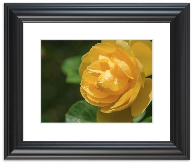 Title: Friendship Rose Photographer: Melissa Fague Genre: Nature Photography. Our Nature Photographs are available as: Digital download for personal and commercial use, Traditional and Limited Edition Fine Art print as well as on Limited Edition Canvas Gallery Wraps are all available for purchase. Please visit our Landscape Photography Gallery for more details. http://pipafineart.com