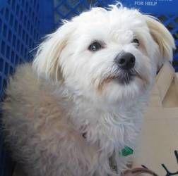 Peaches Is An Adoptable Maltese Dog In Hendersonville Tn Peachs