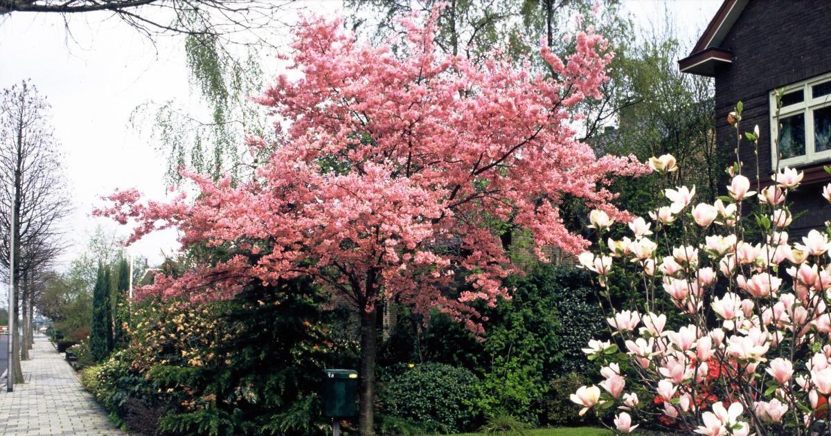 Baume fur den vorgarten  Hausbäume für kleine Gärten | Sträucher, Blickfang und Frühjahr