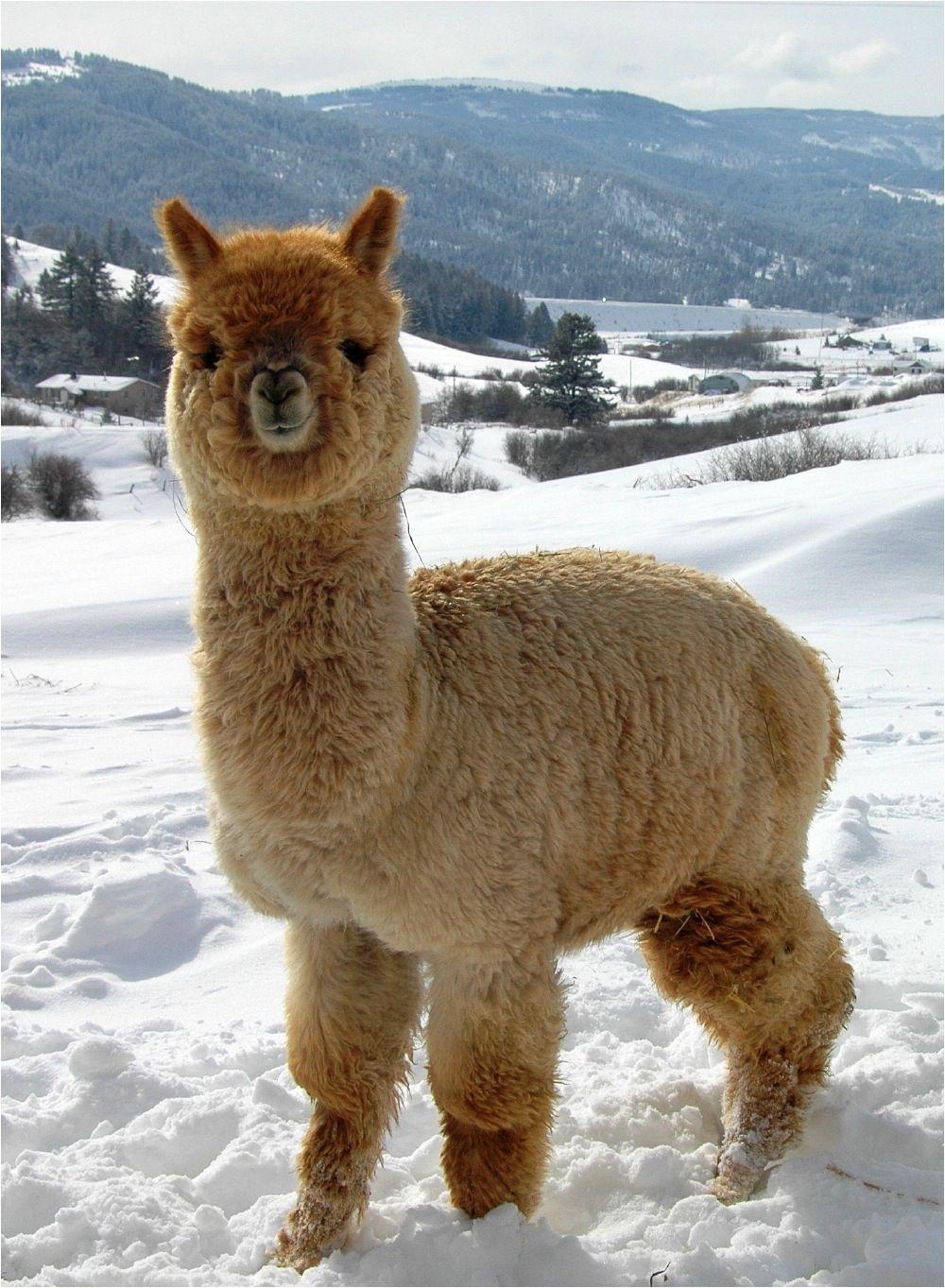 8 cute alpaca crafts