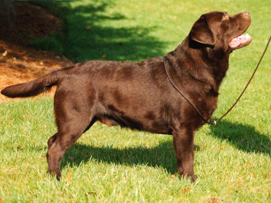 Labrador Bambini ~ Elit yavru labrador retrieverırkının özellikleri bakımı