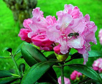 Google+  Rhododendron (Rhododendron ponticum)