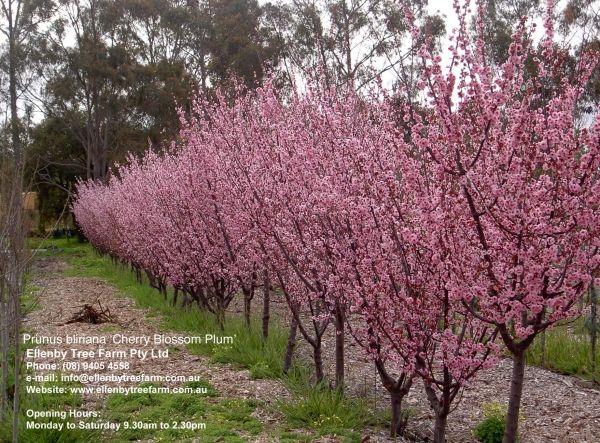 Prunus blireana 'Cherry Blossom Plum'
