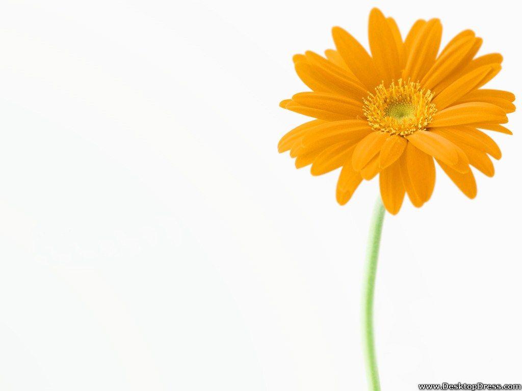 Yellow G Daisy Weddiing Ideas Pinterest Gerbera Daisy