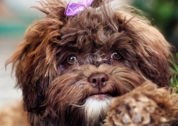 The 20 Hottest Dog Breeds With Images Unique Dog Breeds Dog Breeds Shih Poo