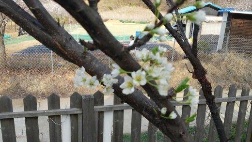 마당에 있는 자두나무에도 하얗고 예쁜 꽃이 피었어요. 작년에 자두 열매 5개가 매달렸었는데, 올해는 가지가 휘어지도록 열매가 매달리길 기원해봐야겠어요.