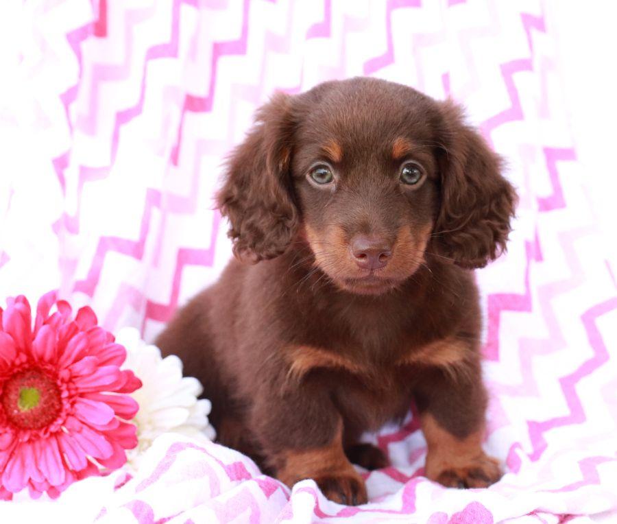 Meet Babe An Adorable Dachshund Puppy Babe Is Friendly