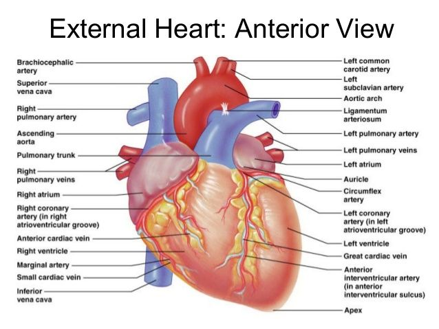 Posterior view of the heart | Anatomy | Pinterest | Anatomy