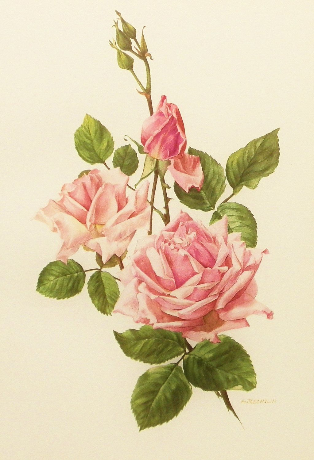 Vintage Shabby Country Decor, 1960s La France Tea Rose Flower Print (Book Plate No. 17).  Etsy.