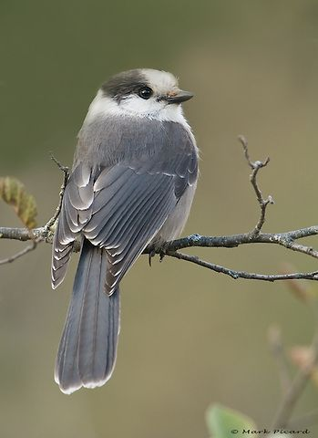 Gray Jay or Whiskey Jack, is a member of the crow and jay ...