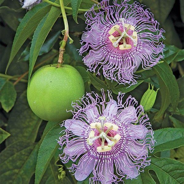 Maypop Passion Flower Passiflora Incarnata Passion Flower Plant Passion Flower Pollinating Flowers