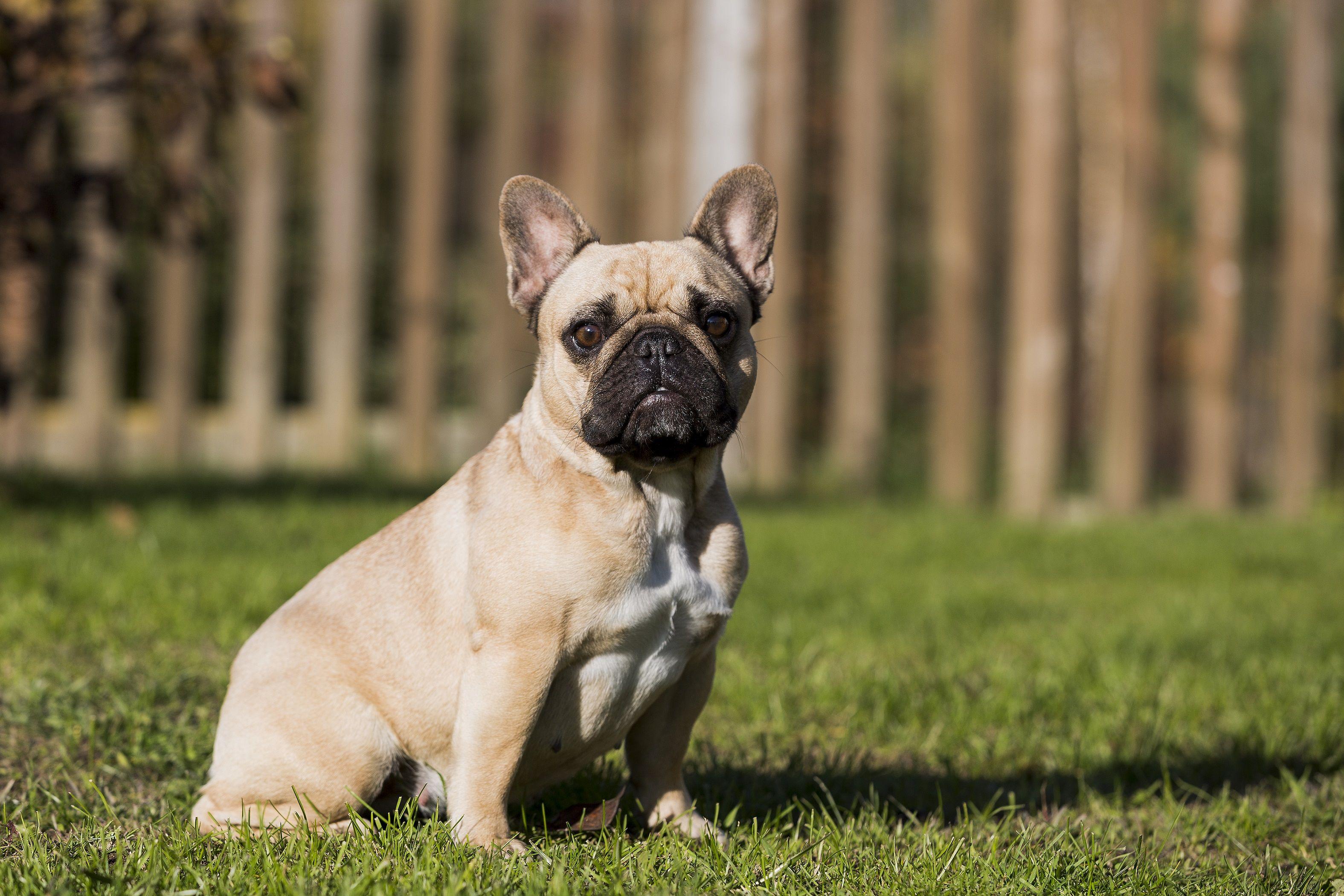 Cute English Bulldog Chihuahua Mix English Bullhuahua In 2020 American Bulldog Chihuahua Mix Bulldog