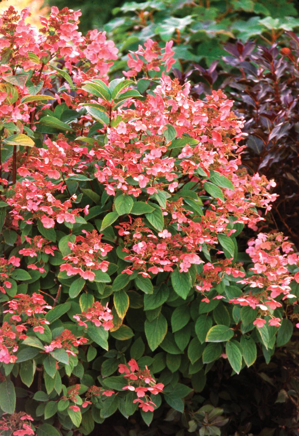 quick fire panicle hydrangea hydrangea paniculata gardens pinterest. Black Bedroom Furniture Sets. Home Design Ideas