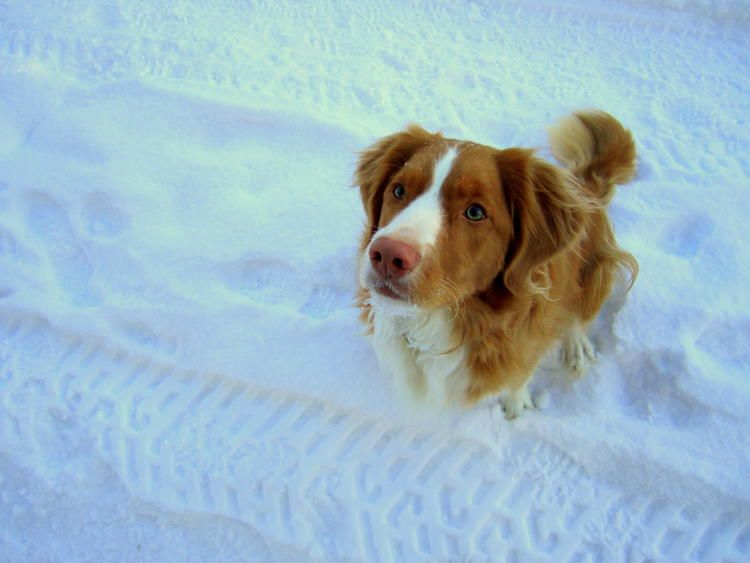 The Daily Puppy Photo Nova Scotia Duck Tolling Retriever Snow Puppy Puppy Photos