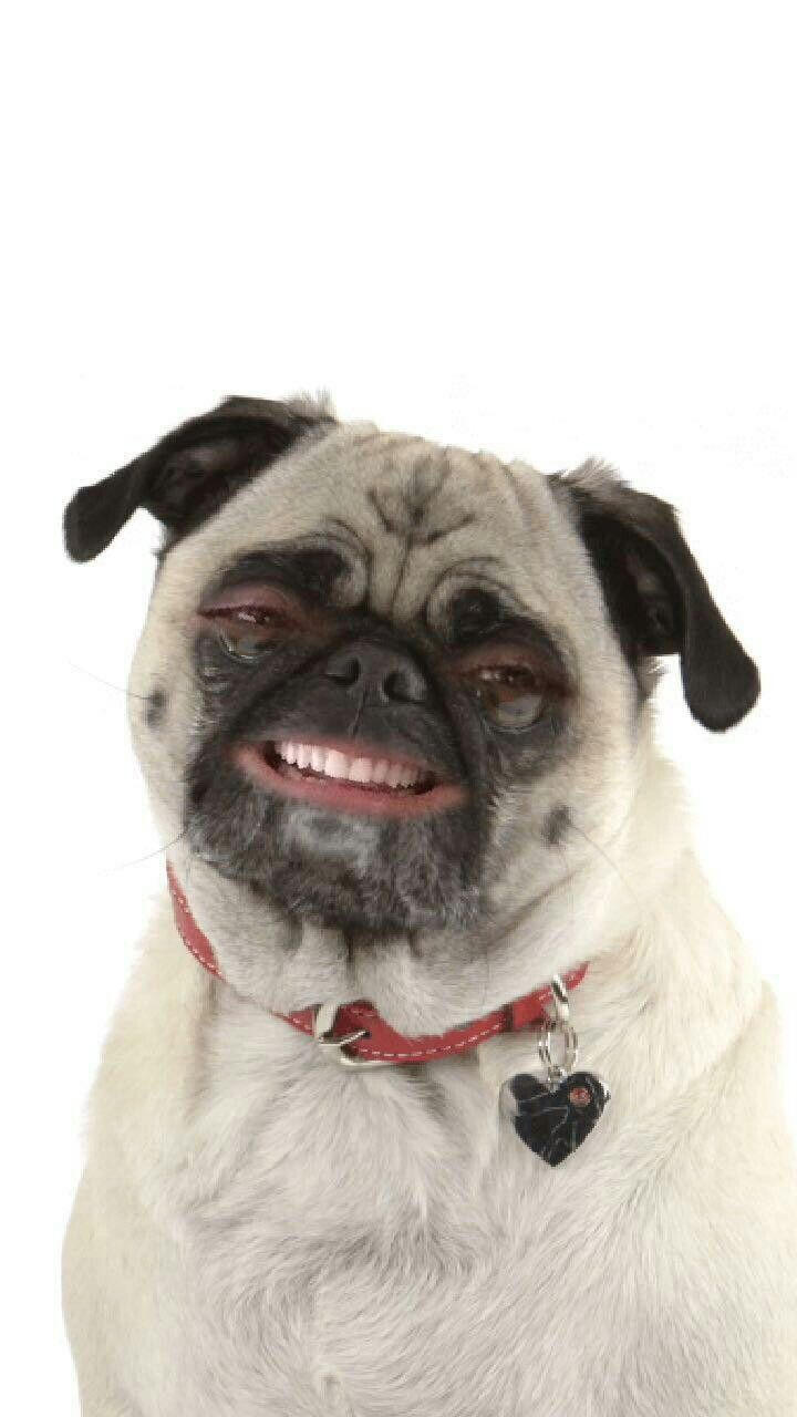 My Pug Face Find My Spirit Animal Funny Dogs Dogs