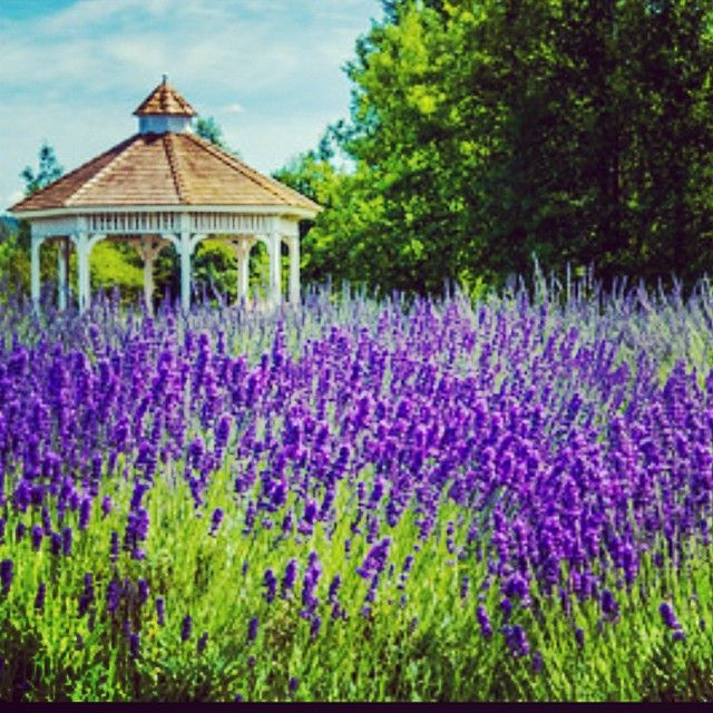 Evergreen Valley #Lavender #Farm in #Olympia, WA | Get Outdoors ...