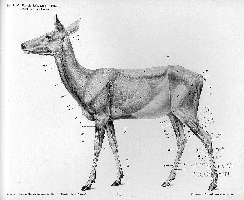 deer anatomy | Animal | Pinterest | Anatomie, Skulptur und Tier