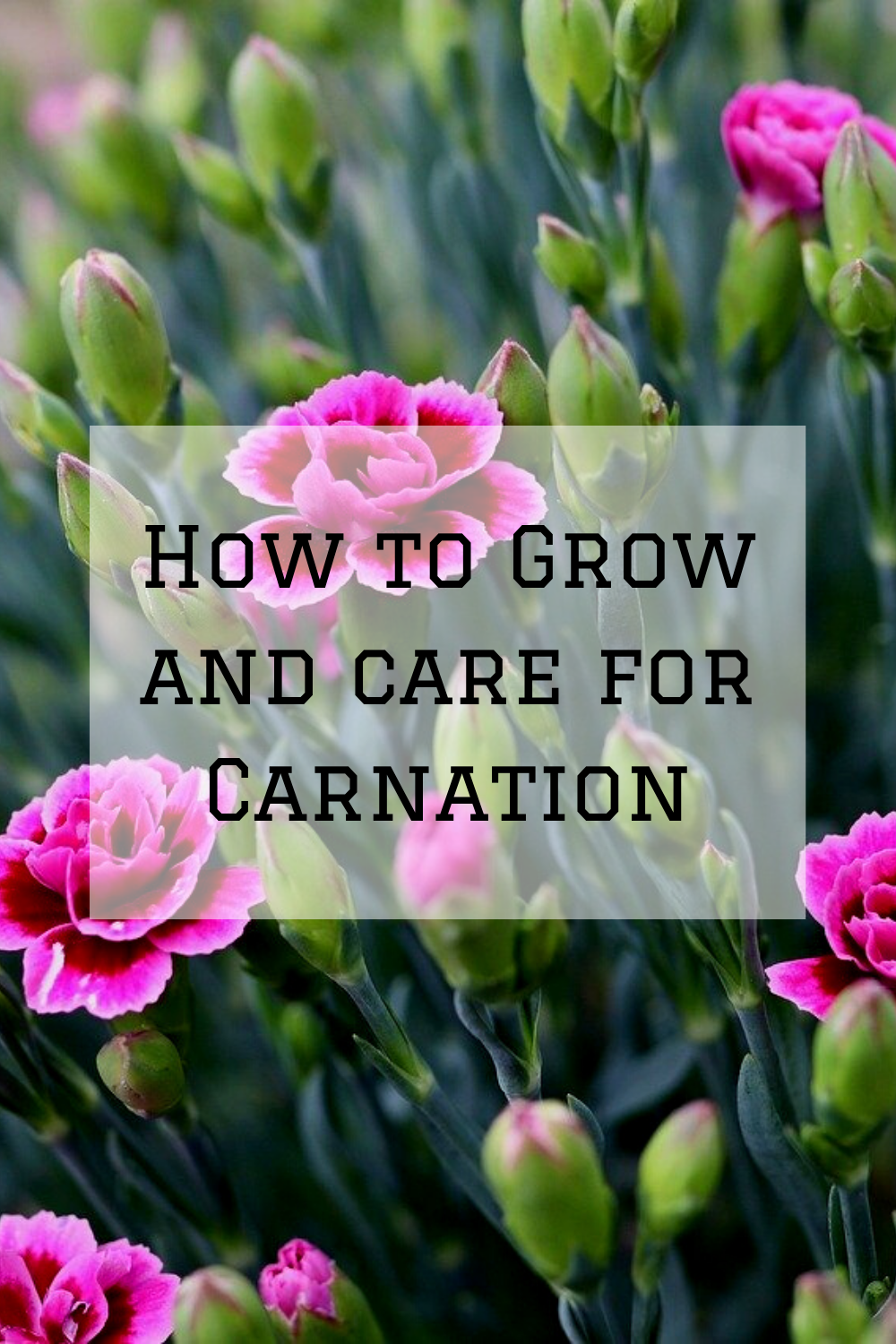 How To Grow And Care For Carnation In 2020 Growing Flowers Carnations Growing