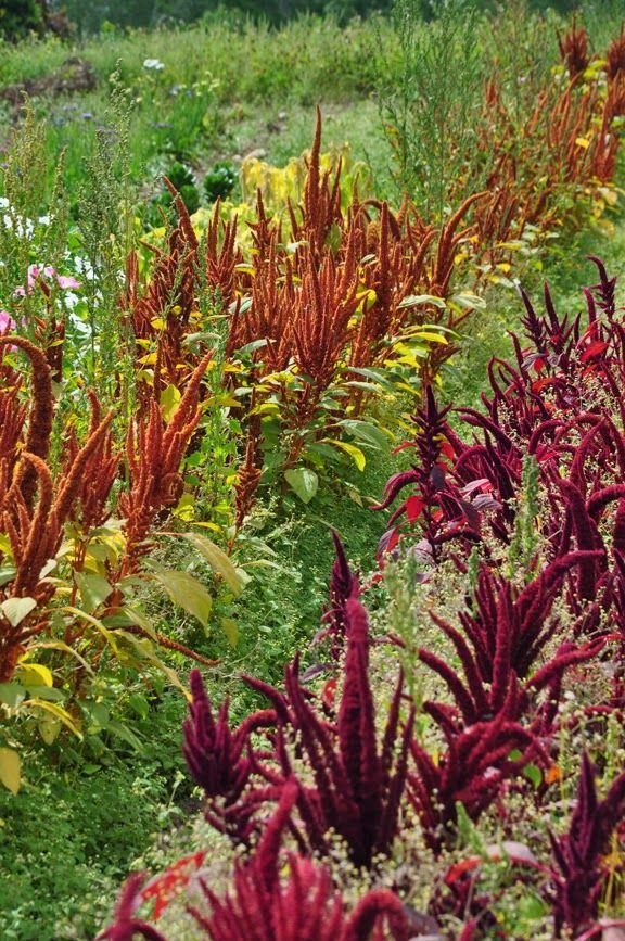 Part 2 The Dinner Plates Dahlias Flowers For Drying Dahlia Flower Habitat Garden Native Plants