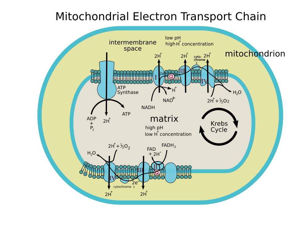 Bio 04 14 Electron Transport Mitochondrion Cellular Respiration