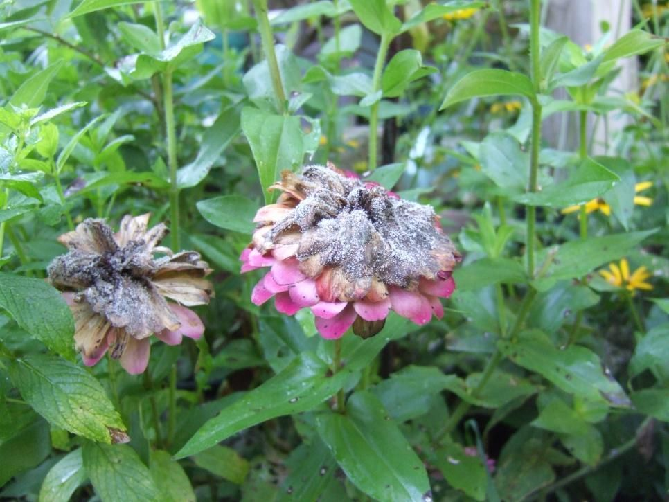 Avoiding Tomato Growing Problems Plant Diseases Common Garden