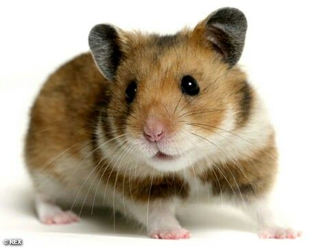 Hamsters Image By Trevor Morris Hamster Breeds Bear Hamster Hamster
