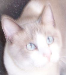 Clyde is an adoptable Ragdoll Cat in Andover, KS. Clyde was born approx. 09/2007. He was the only kitten of the litter with his markings and blue eyes. He is very soft and keeps himself clean. Clyde i...
