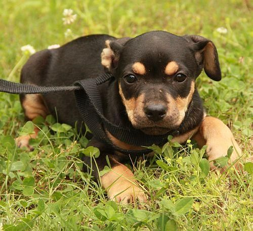 Adopt Honeycrisp On Adoptable Beagle Beagle Hound Hound Dog
