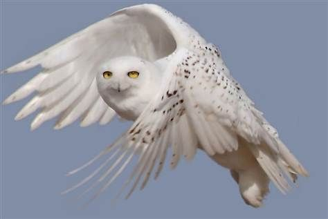 Arctic Snowy Owl...absolutely breathtaking!