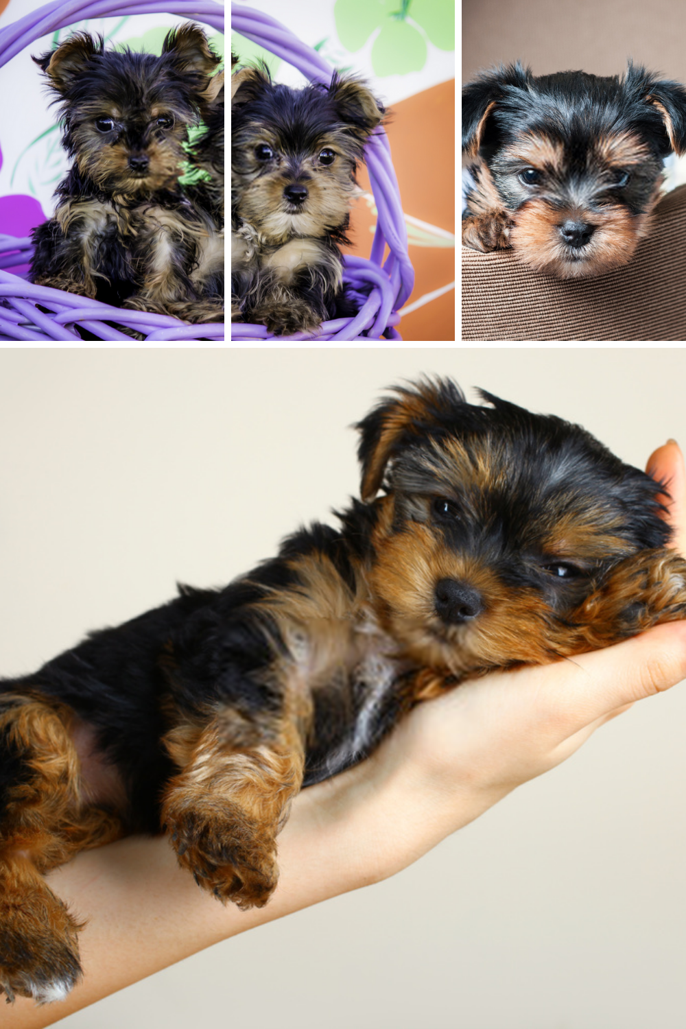 Terrier Puppies The Yorkshire Terriers Dog Puppy Picture In 2020 Yorkshire Terrier Dog Terrier Puppies Yorkshire Terrier Puppies