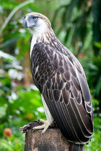 Philippine Serpent Eagle Philippine Eagle Center Davao City