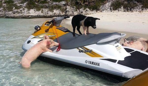 Jet Skiing Pigs | Pigs | Pig island, Swimming pigs, Pig
