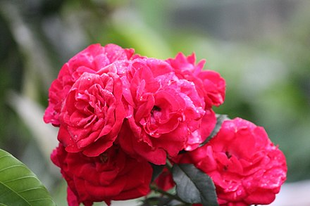 Rose Wikipedia Rose Flowers Red Roses