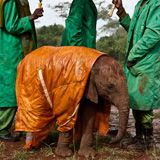 Emergency blankets are helpful for orphaned baby elephants, too.