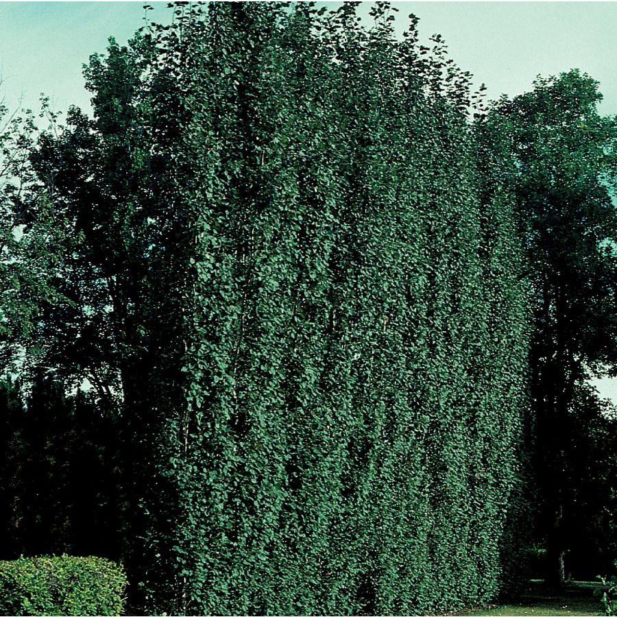 7 28 Gallon Swedish Aspen Feature Tree In Pot With Soil L24759
