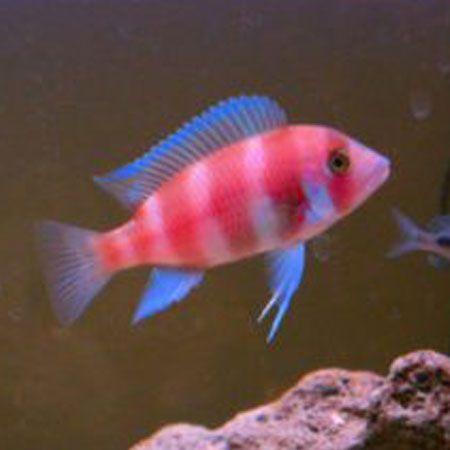 Red frontosa cichlid 6 7cm aggressive fish for Non aggressive fish