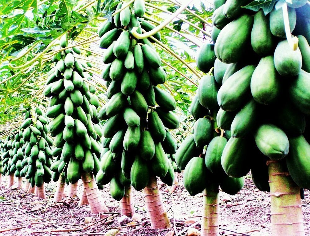 RARE ♡ EXOTIC ♡ HEIRLOOM ♡AMAZINGLY ♡SWEET ♡MARADOL ♡PAPAYA ♡GIANT ♡FRUIT ♡SEEDS in Seeds & Bulbs | eBay