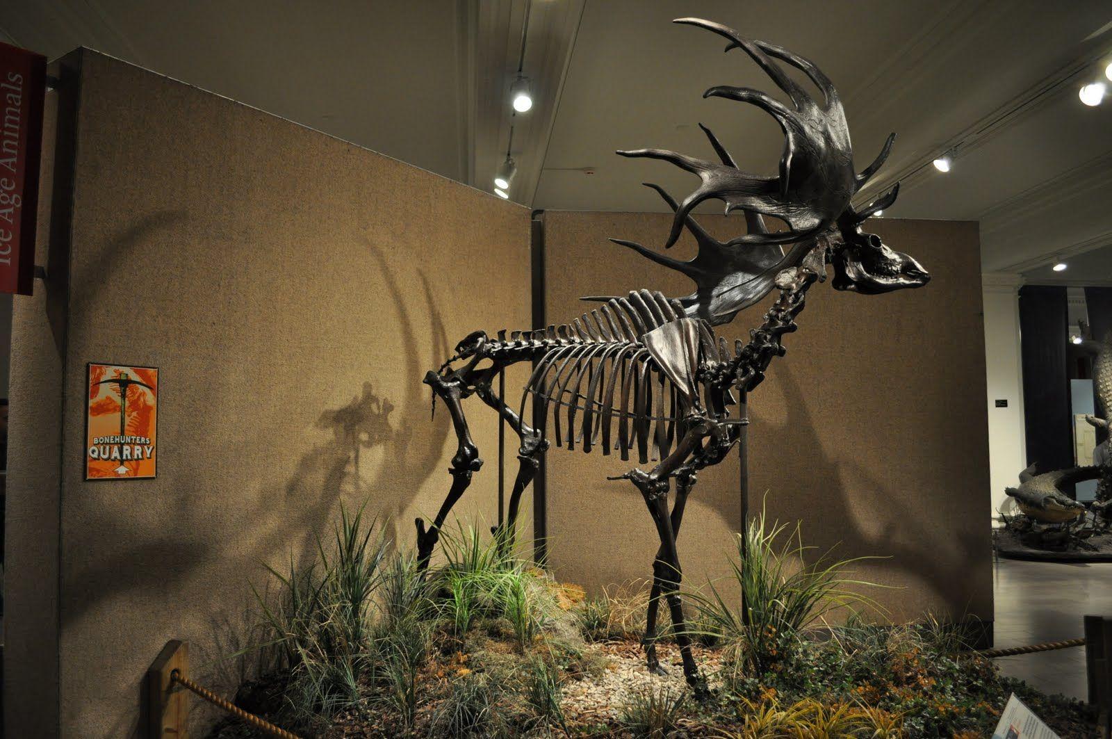 Megaloceros giganteus .