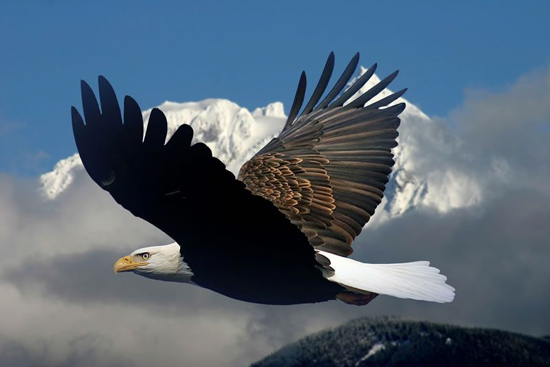 Eagle soaring above the clouds