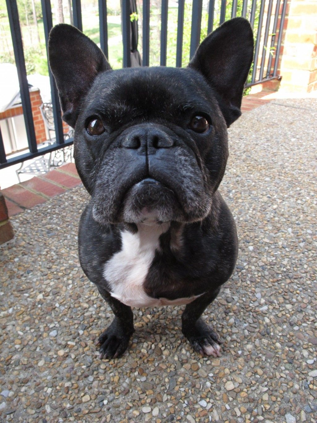 Choosing Raising And Caring For A French Bulldog Bulldog